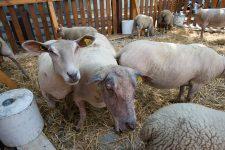 Les moutons en divagation agacent la maire