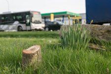 Laïcité : des arbres vandalisés à répétition, un ne sera jamais replanté